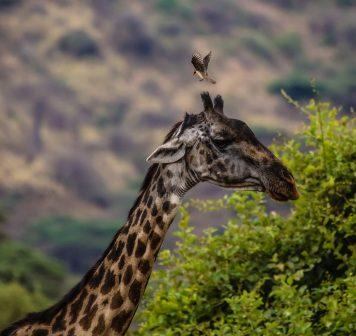 Safari Day 2-97
