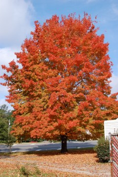 Harvest Moon® Sugar Maple Fall Habit