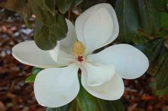 Greenback™ Magnolia Flower