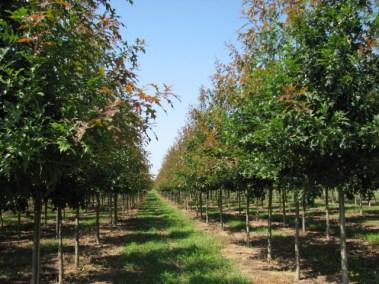 Ruby Spring™ Nuttall Oak Rows