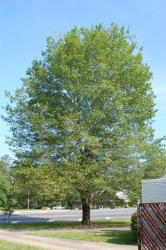 Harvest Moon® Sugar Maple Habit