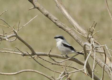 Loggerhead shrike bird. Flickr Creative Commons image.