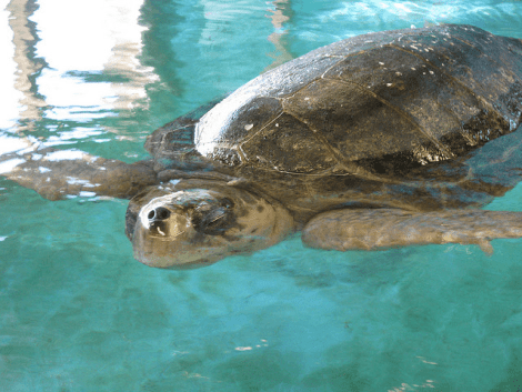 A sea turtle in a rehabilitation tank at GSTC.
