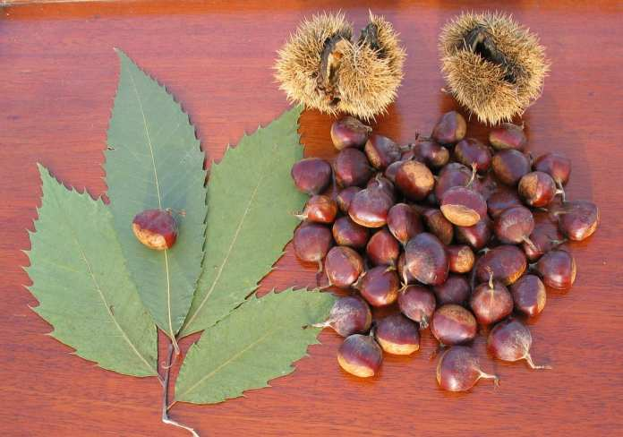 Them Old Sweet Ones: Remembering and Reintroducing the American Chestnut