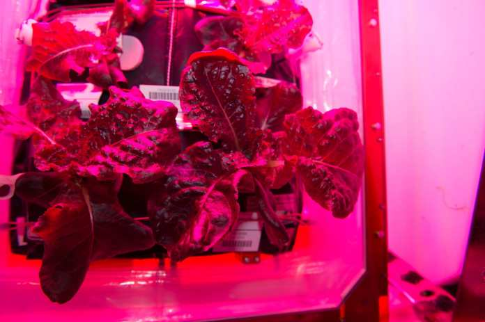 ISS-44_VEGGIE_Red_Romaine_Lettuce