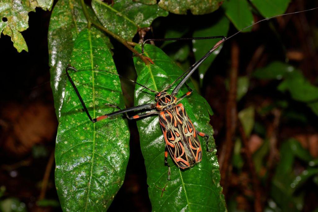 Acronicus longimanus