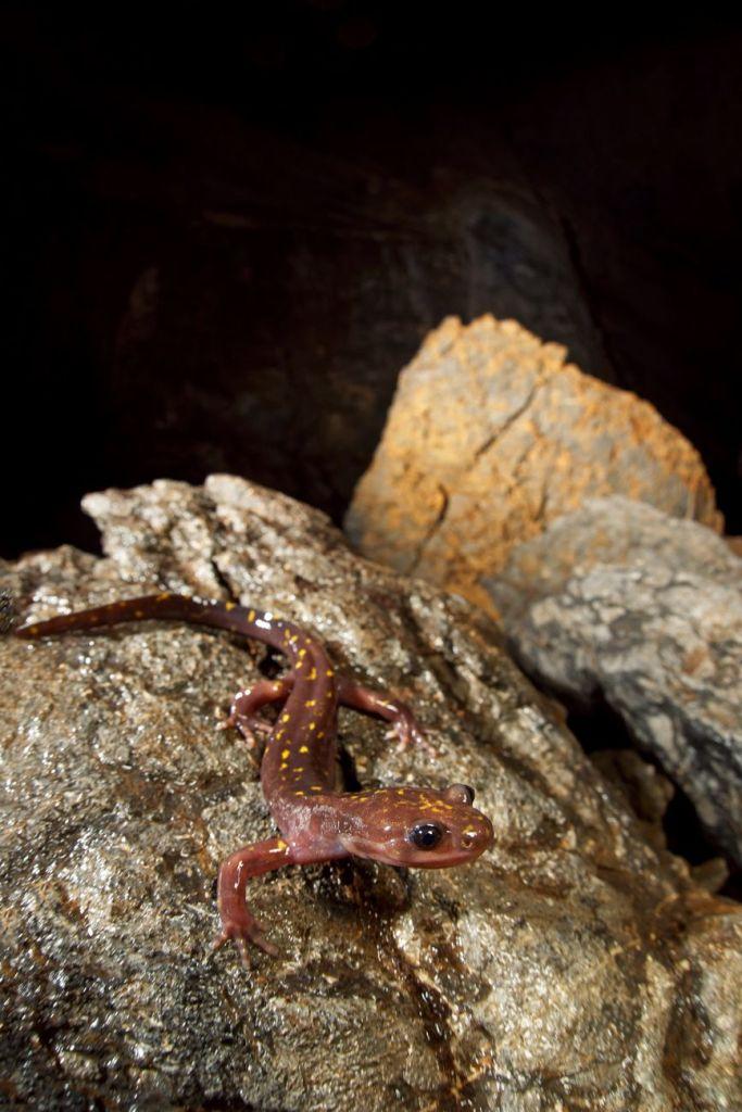 Paradactylodon persicus