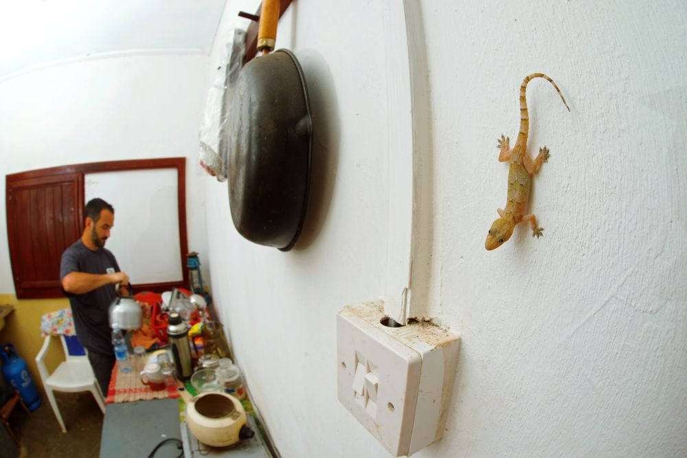 Hemidactylus mabouia