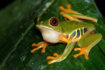 Amphibiens, Anoures, Costa Rica, Hylidae, Trips
