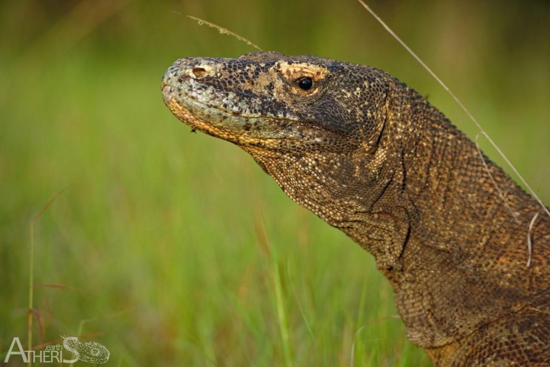 Indonésie, Lézards, Reptiles, Rinca, Trips, Varanidae
