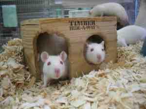 white rats as pets
