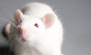 White lab rat