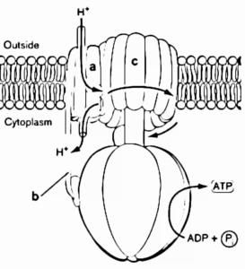 stent: ATP synthase
