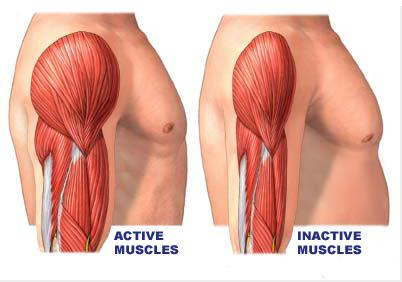 muscle, masse musculaire