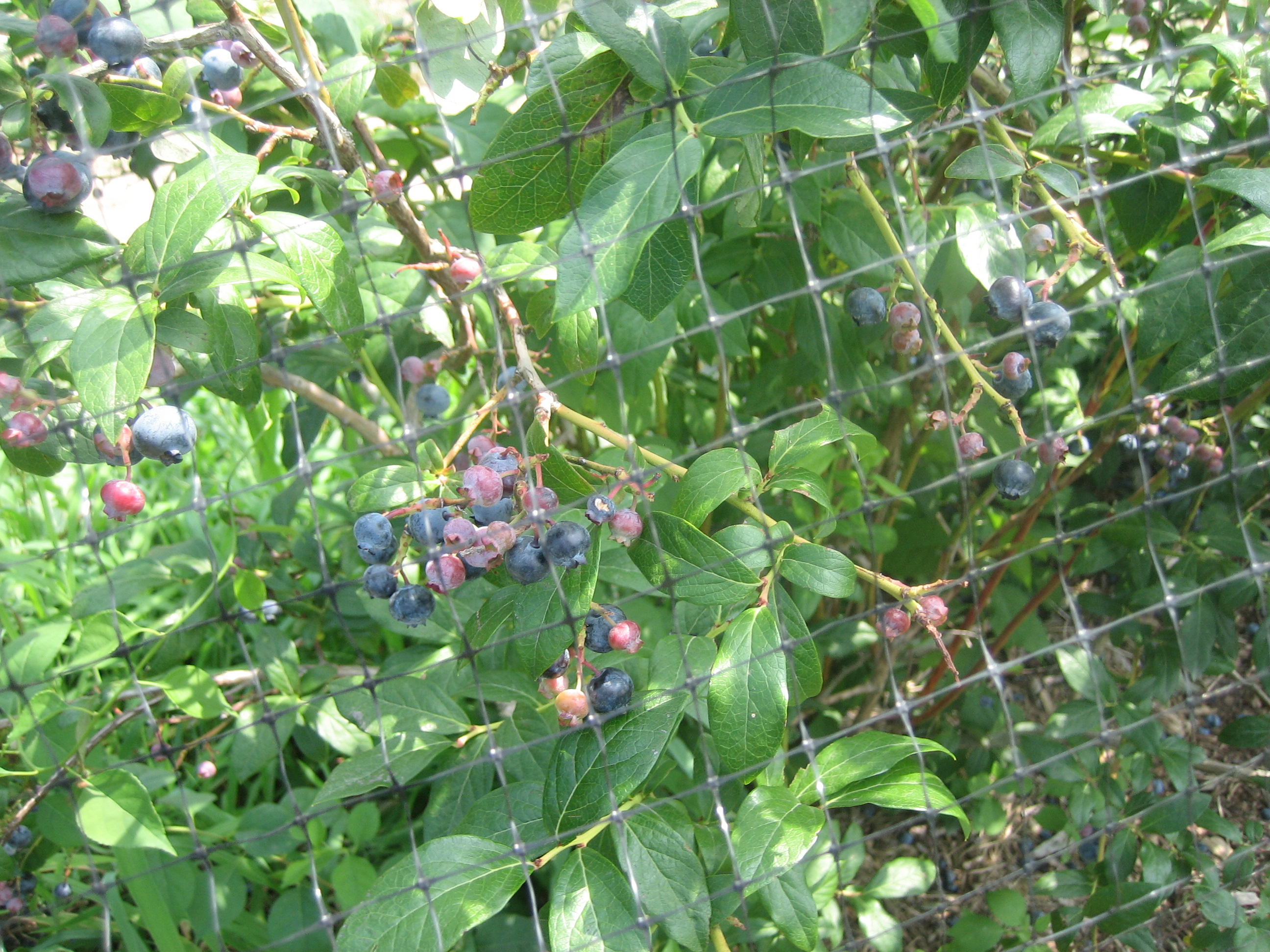 vines on blueberry bush