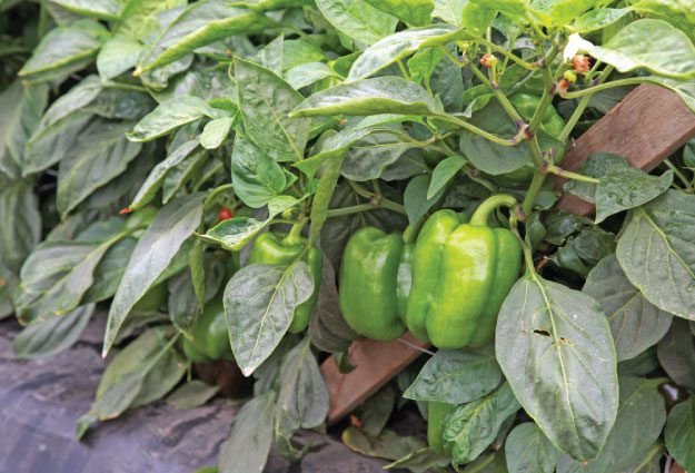 Peppers have it made in the shade