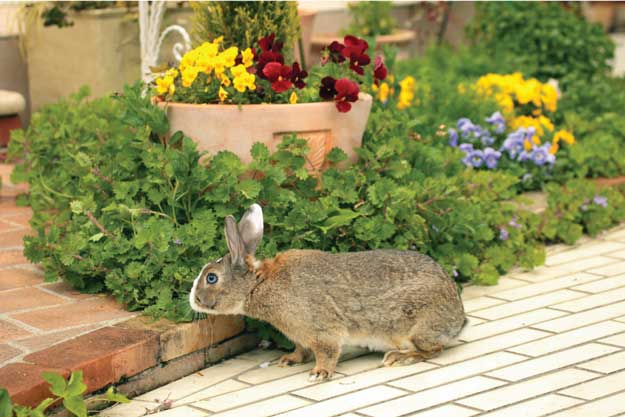 Rabbits a pest in the garden