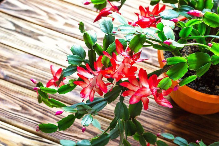Christmas Cactus: A Seasonal Showoff