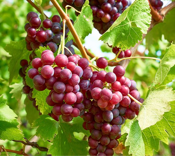 Grapes for the home table