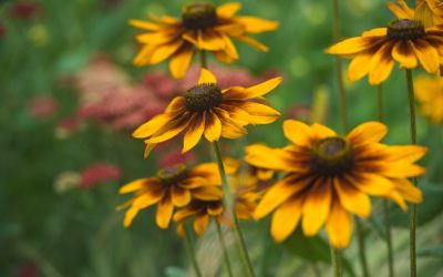 Spruce up Perennials with fall division