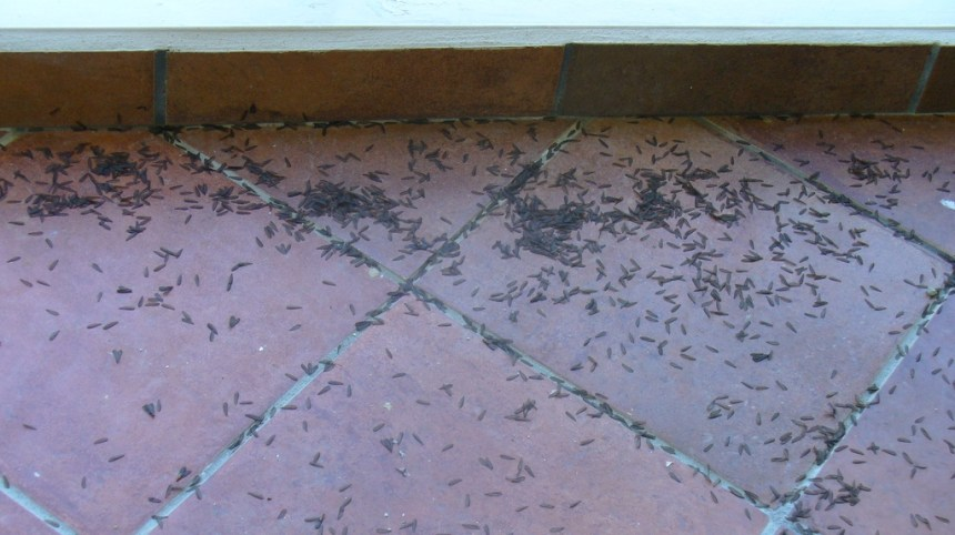 picture of termite wings on our balcony as a result of the swarm we had on our first day in puerto rico