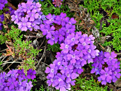 PurpleGroundcover