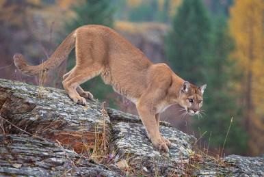 Cougar in Canada