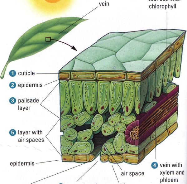 Plant Cuticle Diagram