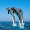Monitorizarile delfinilor continua pe litoralul romanesc