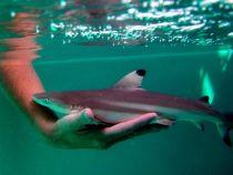 Emotionant: 3 pui de rechin salvati in ultimul moment din pantecul mamei moarte