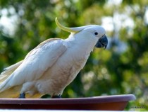 Papagalii au pus gând rău liniei de internet de mare viteză din Australia