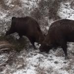 """""""Fight club"""" în zăpadă, cu doi zimbri care se luptă în Parcul Natural Neamț I VIDEO"""