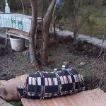 """Intervenție neobișnuită pentru polițiștii din Sebeș: Au prins un porc care a """"zburat"""" dintr-o remorcă"""