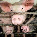 Peste 20.000 de porci de la o fermă din Arad vor fi sacrificați din cauza pestei porcine | AUDIO