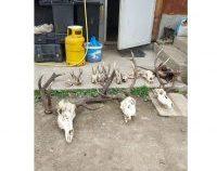 Maramureș: Polițiștii au confiscat trofee și arme de vânătoare deținute ilegal de un tânăr