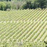 Viticultorii francezi se tem că producția de vin va scădea cu o treime din cauza gerului