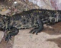 Cehia: Crocodil pitic evadat dintr-o curte