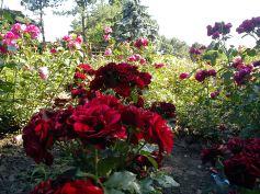 Trandafiri03