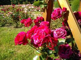 Trandafiri14