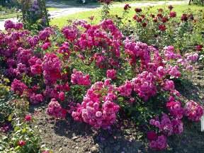 Trandafiri17