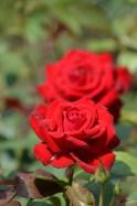 Regina florilor 07