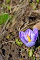 Flori de primavara 013
