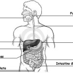 Atividades sobre sistema digestório com gabarito
