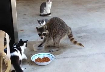 racoon steals cat's food