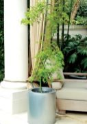 """For a sleek aluminum pot from Kolo Collection, which adds a contemporary verve to the landscape's classical design elements, Weber selected a true upright weeping Japanese maple. """"Its weeping branches add fantastic interest against the outdoor drapes,"""" she says."""