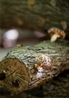She and her husband, Thibaut, cultivate shiitake mushrooms.