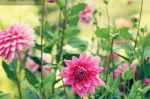 Highlands, with its dry but cool conditions, is ideal for growing dahlias. Since planting her first bulb 10 years ago, Carolyn has watched her dahlia garden grow to 275 plants in two beds.