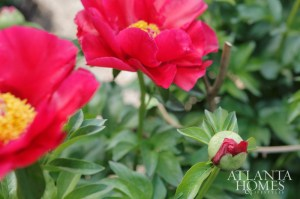 Blooming peonies add eye-popping color to the backyard garden.