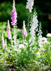 A multi-colored mix of foxgloves.