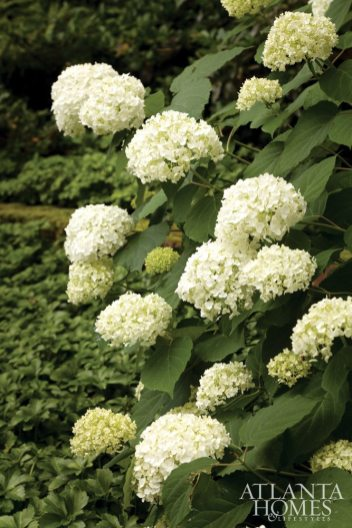 The stunning showcase of blooms in the Buckhead garden includes the 'Annabelle' hydrangea.